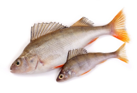 two perch on a white background Stock Photo - 11696275