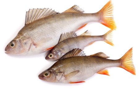 three redfish on a white background