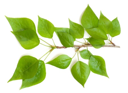 poplar branch on a white background