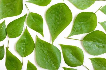 白い背景の上のポプラの葉