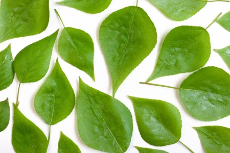 poplar leaves on a white background