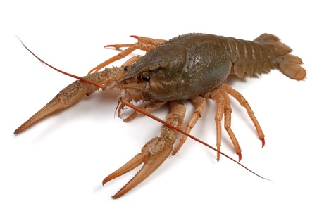 Crayfish on a white background. Stock Photo