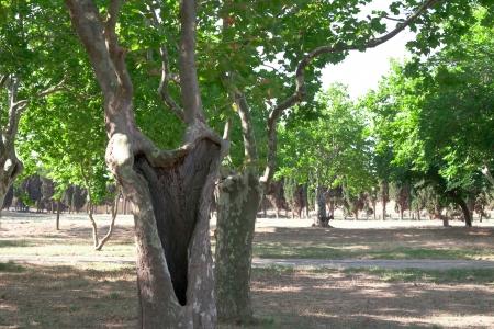 sicomoro: tronco e rami di sicomoro