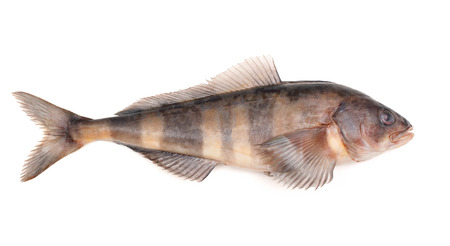 greenling: greenling  isolated on white background