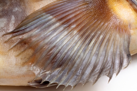 fin greenling isolated on white background
