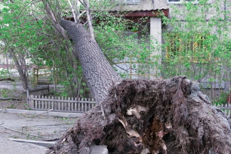 Tree Uprooted After Storm Stock Photo