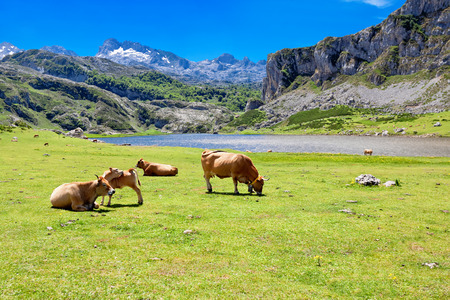 cantabrian: Cows in a pasture near Lake Ercina. Cantabrian. Covadonga. Asturias. Spain. Stock Photo