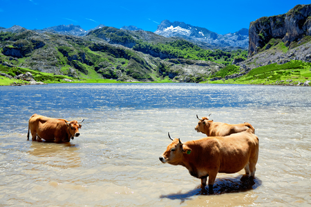 cantabrian: A herd of cows on the watering. Lake Ercina. Cantabrian. Covadonga. Asturias. Spain