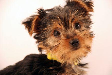 hairry puppy Zdjęcie Seryjne