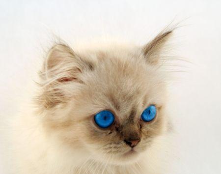 whiskar: the blue eyed cute kitten  Stock Photo