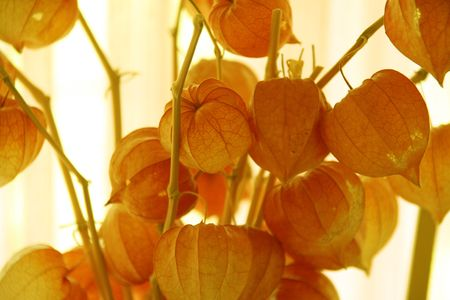 the redish orange lanterns plant Stock Photo - 312720