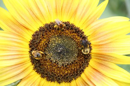Three honey bees on a wonderful sun flower Stock Photo