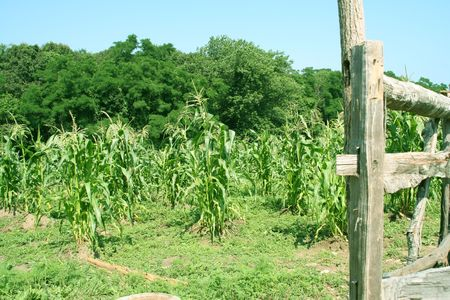 scruple: corn field