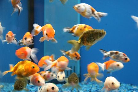 Goldfish Banque d'images - 312506