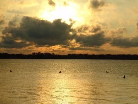 swans at sunset photo