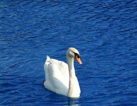 Swan in water photo