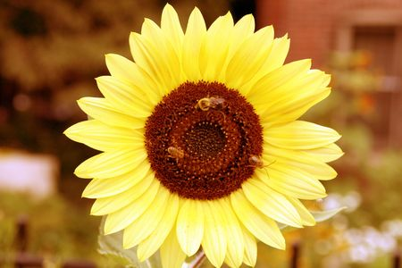 bees and a sunflower photo