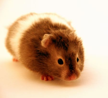 captivation: cute rodent 1