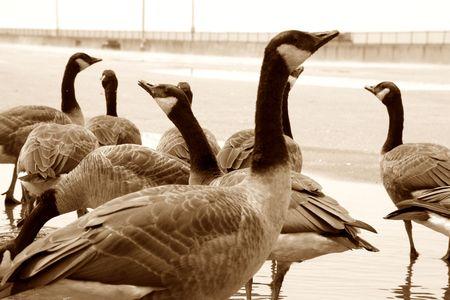 quack: geese