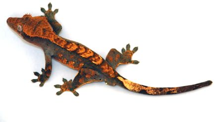 indirect: little reptile on the wall Stock Photo