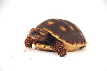 peeking turtle photo