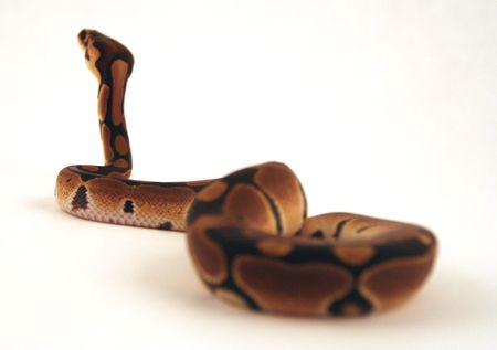 Snake Zdjęcie Seryjne - 312292