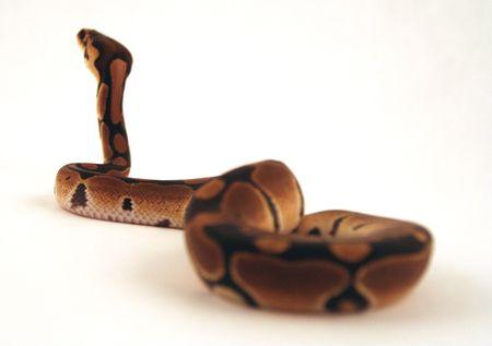 treacherous: Snake