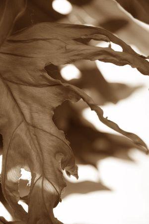 wilting: marchitamiento de hojas en blanco y negro  Foto de archivo