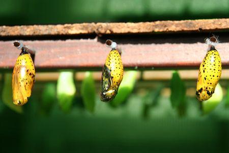 clonacion: capullos de mariposa en las filas de las vainas y los insectos no nacieron los bebés colgando de una colmena de errores