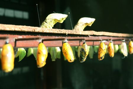 clone drone yellow insect pods of multiplying butterflies in a community of clones Zdjęcie Seryjne