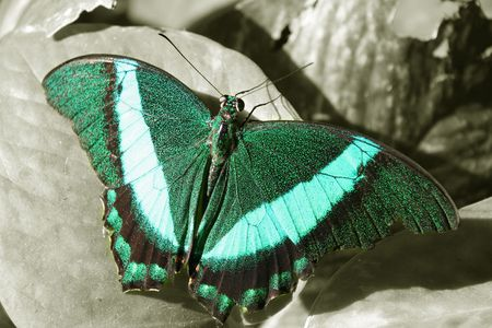 pretty turquoise green and teal monarch butterfly on black and white leaf Zdjęcie Seryjne