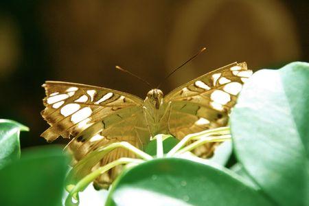pretty monarch butterfly on leaf