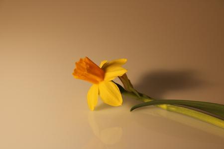 beautiful yellow daffodils isolated Stock Photo