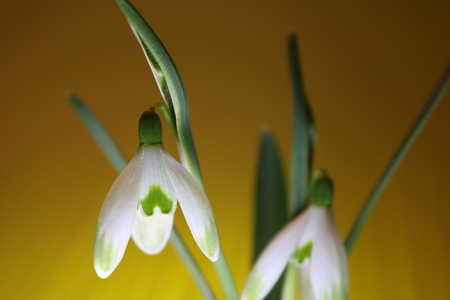 Snowdrops in spring isolated