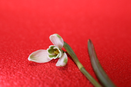 Snowdrops in spring isolated on red background Stock Photo