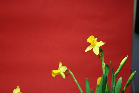 Set of beautiful yellow daffodils on red background