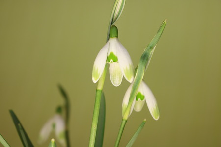 Snowdrops in spring isolated on  green background