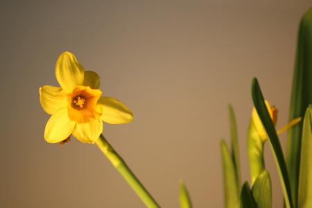 Set of beautiful yellow daffodils isolated