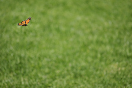 monarch butterfly: Monarch butterfly on the fly