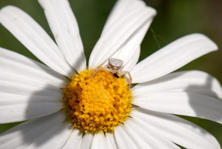 crab spider: Crab spider