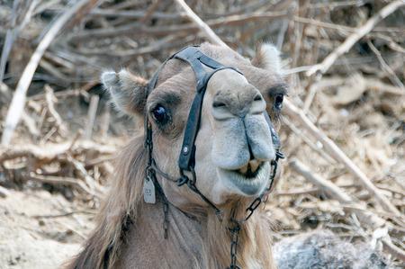dromedary: Camel (dromedary)