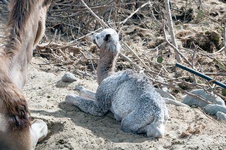 dromedary: Baby camel (dromedary)