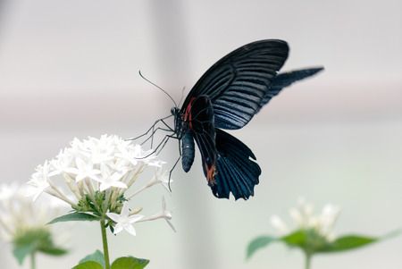 scarlet: Butterfly (Scarlet mormon male)