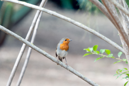 robin bird: A robin bird in the branch of a tree