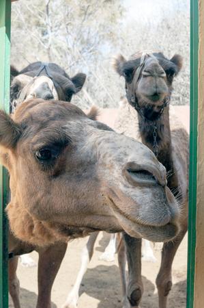 dromedaries: Curious camels (dromedaries)