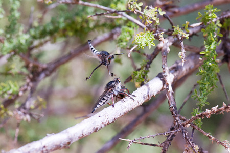 courting: Courting dance of the robber fly (Asilus cabroniformis)