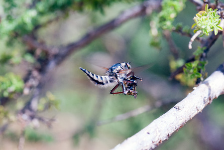 asilidae: A macro shot of a robber fly hunyig a bee on the fly Stock Photo