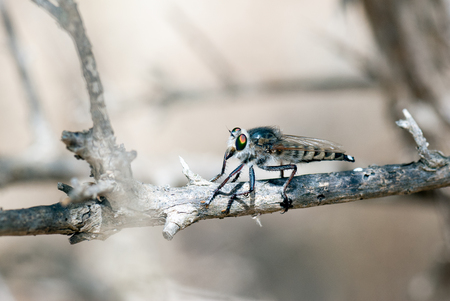 asilidae: A macro shot of a robber fly on a branch