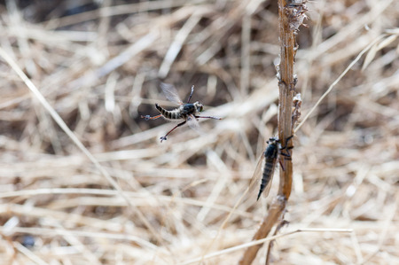 asilidae: Courting dance of the robber fly (Asilus cabroniformis)