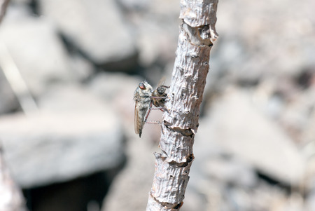 asilidae: A macro shot of a robber fly hunting a bee